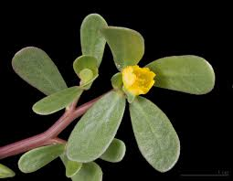 Name it Luni Saag; Purslane; Portulaca; Luniya; Noniya or Gonu, but do not forget its richness